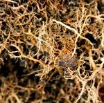 Root Pouch verzweigte Wurzeln, keine Ringwurzeln