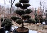 Eher ein Kunstwerk als ein Baum, in einem 190L Root Pouch.