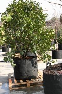 Sicherer Stand auch auf einer Palette - Baum in riesen Root Pouch