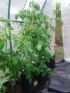 Tomatenreihe in Root Pouch 16L Pflanzbeutel