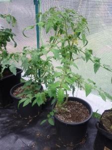 Tomatenreihe in 16L Plastiktopf