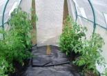 Vergleich Rootpouch vs Plastiktopf mit Tomaten